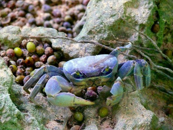 cara budidaya kepiting laut