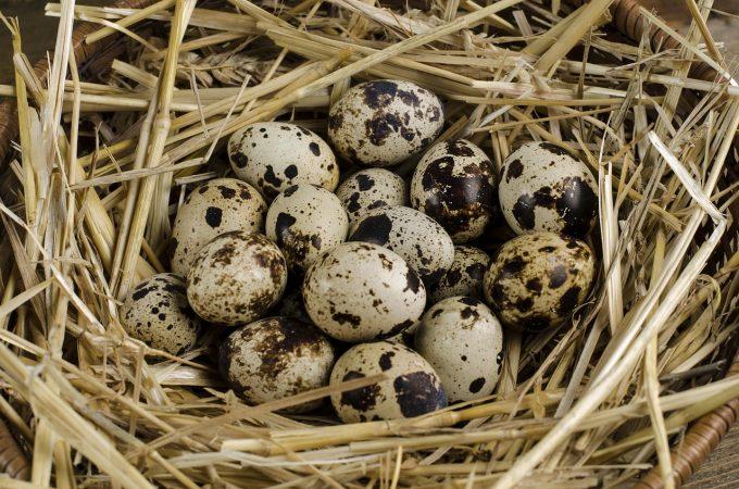 budidaya burung puyuh telur