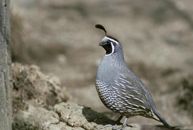 cara budidaya burung puyuh