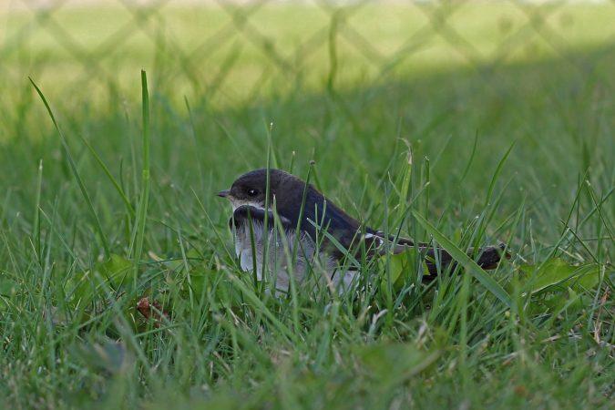 budidaya burung walet pemula