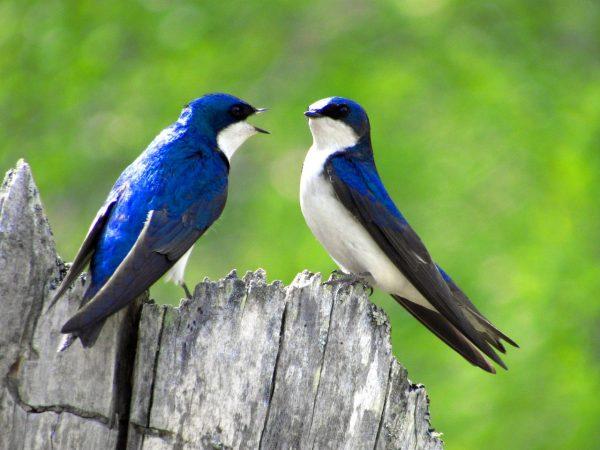 Mengetahui Ciri-Ciri Burung Wallet