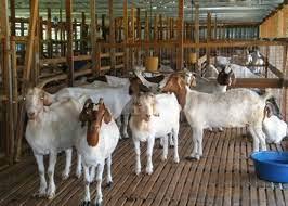 jual kambing tangerang